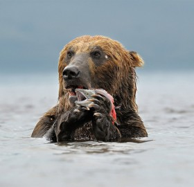 kamchatka brown bear catches lunch