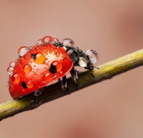 ladybug caught in the rain
