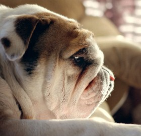 sad bulldog puppy