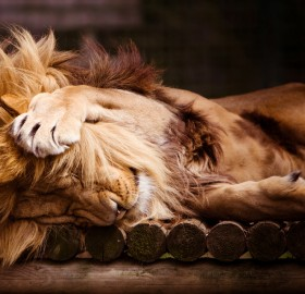 sleepy lion