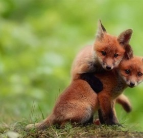 two cute baby fox brothers