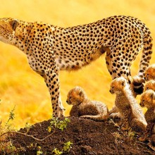 african cheetah family