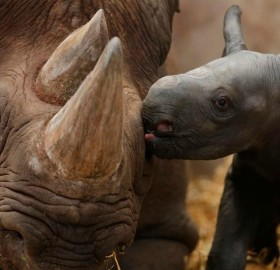 baby rhino giving his mama a kiss