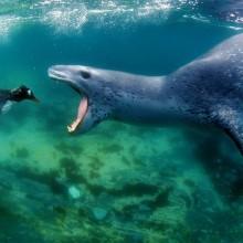 leopard seal goes for penguin