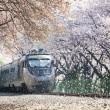 train going through blossom
