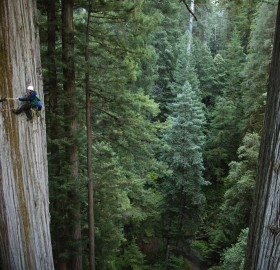750 years old sequoia tree