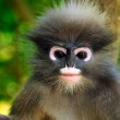dusky leaf monkey, thailand