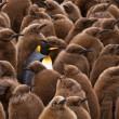king of king penguins