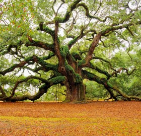 the angel oak tree, charleston