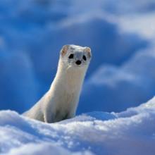 cute white weasel