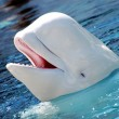 happy beluga whale