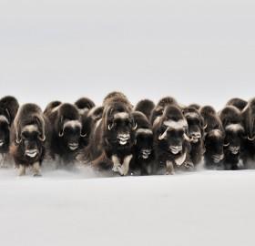 herd of musk-oxen, canada