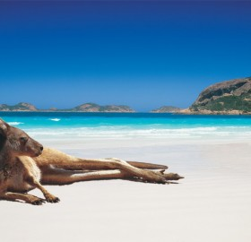kangaroo chilling on the beach