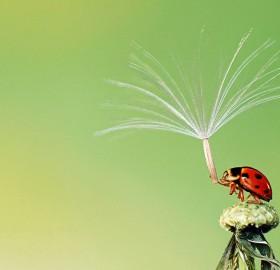 ladybug holds dandelion seed