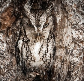 owl, the master of camouflage