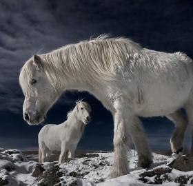 white wild horses, iceland