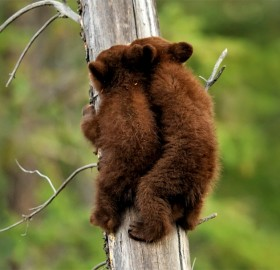 black bear cubs climbing a tree
