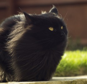 black fluffy cat in the wind
