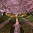 cherry blossoms in bloom, yokohama