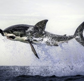 great white shark leaps out of the water