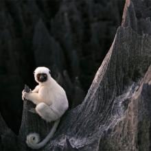 sifaka lemur, stone forest, madagascar