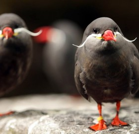 the inca tern, birds with mustaches