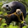 white headed langur grooms her baby