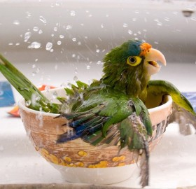 bathing parrot