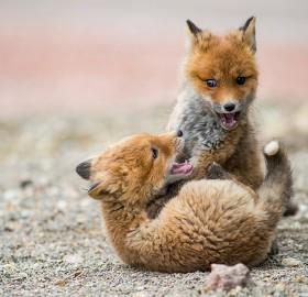 fox cubs play