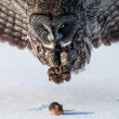 grey owl hunts a mouse