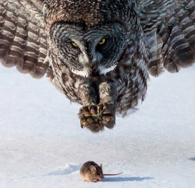 grey owl hunts a mouse
