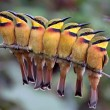 group of little bee eaters