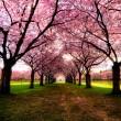 cherry trees path, germany