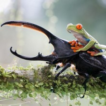 frog on the hercules beetle