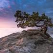 old pine tree, saxon, switzerland