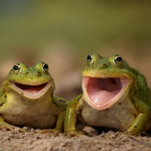 two happy frogs