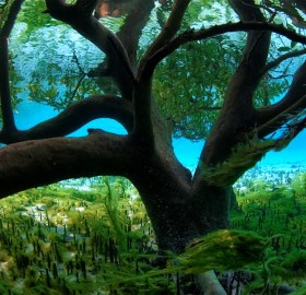 underwater mangrove tree