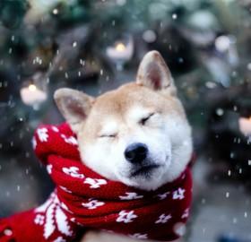 akita inu with a scarf