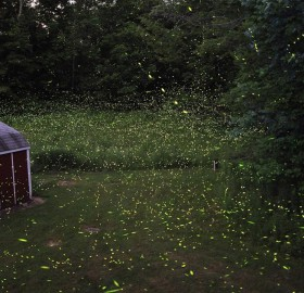 fairy-Like fireflies