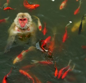 monkey plays with carp fish