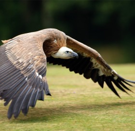 vulture goes for his prey