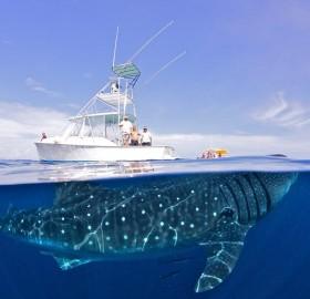 whale shark under yacht, mexico