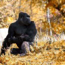 gorilla in autumn, detroit zoo
