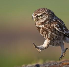 owl in the run