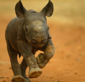 2-Week-Old baby rhino