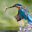 bird catching meal
