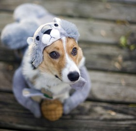 corgi in squirrel costume