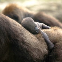newborn silverback gorilla holds to his mother