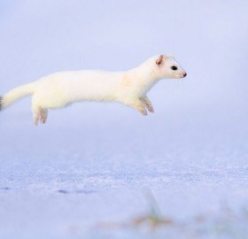 stoat frozen in air