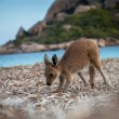 baby kangaroo playing at the beach